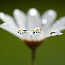 Daisy dream II by Melinda Gaal