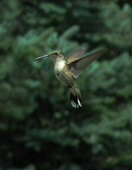 Hovering Hummingbird by Deb Fedeler