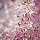 Soft Pink Petals by Lauren Neely