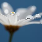Daisy dream IV by Melinda Gaal