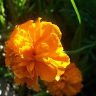 Orange Marigolds by Shaun  Gabrielli