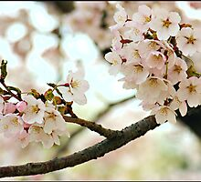 Japanese Cherry Blossoms V by Lauren Neely