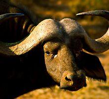 African Buffalo by Damienne Bingham