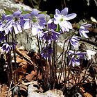 Hepatica wildflower by ChuckBuckner