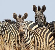 Plains Zebra Group, Akagera National Park, Rwanda. by Carole-Anne