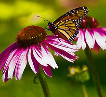 Monarch Butterfly on Echinacea by Megan Noble