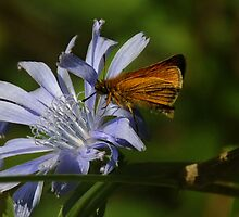 Blue Chicory, Cichorium intybus by jules572