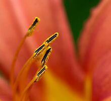 Lily Anthers in Gardens around City Hall by Gary Chapple