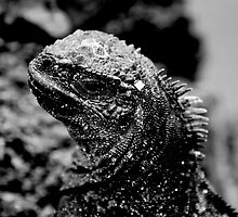 Marine Iguana in Black & White by Billboeing