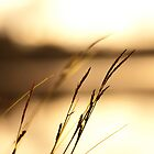Grass straws in evening sunlight by netza