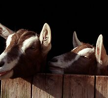 Two Goats looking out of stable. by sandyprints