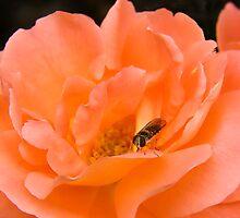 Lost In Peach by Susie Peek
