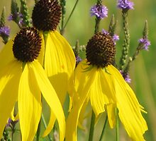 Prairie Coneflower Trio by lorilee