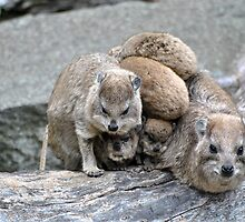 Hyrax Heap! by Dorothy Thomson