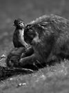 Barbary macaques by Matt Sillence