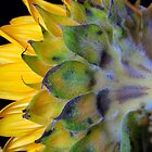 Sunflower, turns away! by Glenn Cecero