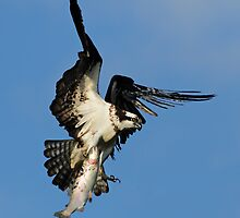 Osprey (Pandion haliaetus) by MIRCEA COSTINA