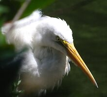 Egret  by camerawoman1
