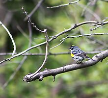 Yellow-Rumped Warbler by Alyce Taylor
