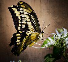 Swallowtail by Saija  Lehtonen