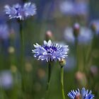 Cornflowers by Justine Gordon