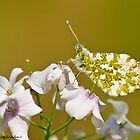 Anthocharis cardamines by Dav66