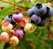 Wild Blueberries by RevJoc