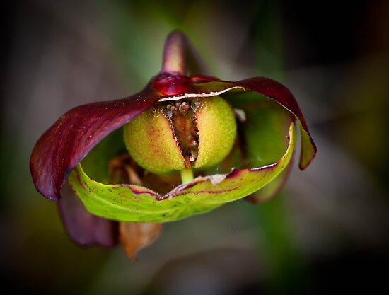 Pitcher Plant by Erin Fitzgibbon