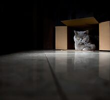 British Blue Cat in a Box by ksegev
