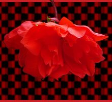 Scarlet Begonia by Fay Hartwell