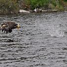 Eagle catching walleye by Brian Addison