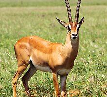 Grant's Gazelle by Jennifer Sumpton