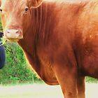 Cow Stare by nrsedude