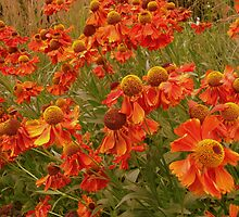 Field of orange flowers  by shelleybabe2