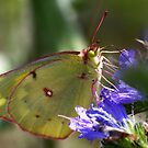 Clouded Sulphur Butterfly by Jim Cumming