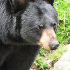 Black Bear by Sonja Dover