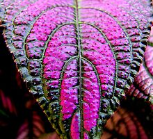Persian Shield (Strobilanthes dyerianus) by Jean Gregory  Evans