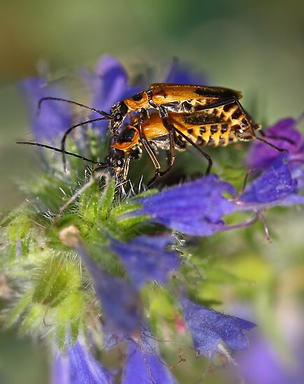 Soldier Beetles - Fightin for a Cause by Jim Cumming