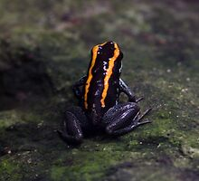 Poison dart frog by webbo