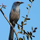 Florida Scrub-Jay by naturalnomad