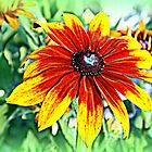 Gloriosa Daisy (Rudbeckia gloriosa) by kkphoto1