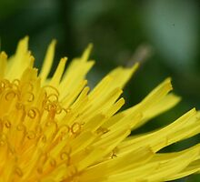 Dandelions with Curlies by micala