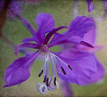 The Lowly Fireweed by TeresaB