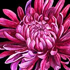 "Chrysanthemum ""the opening"" by Sarah Trett"