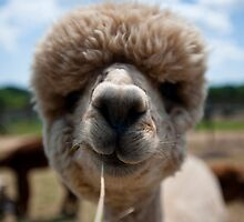 An Island Alpaca - Martha's Vineyard by Peter Kruger