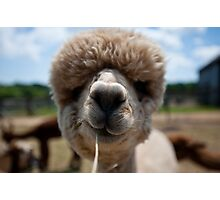 An Island Alpaca - Martha's Vineyard Photographic Print
