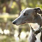 Smokey by GreyhoundSN