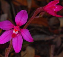 early season pink fairy orchid (caladenia reptans) by peterbeaton