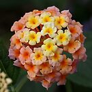Lovely Lantana by dilouise