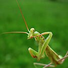 European Praying Mantis ( Mantis religiosa) by Istvan froghunter